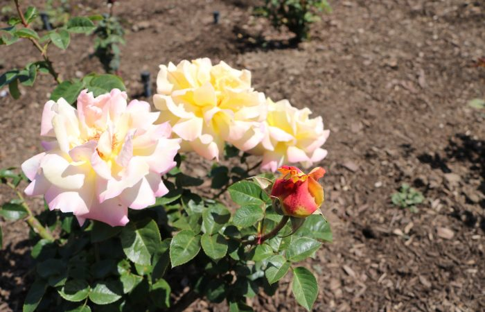 Tour Our Rose Gardents